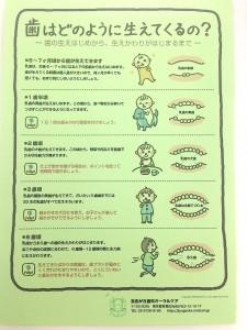 歯はどのように生えてくるの?